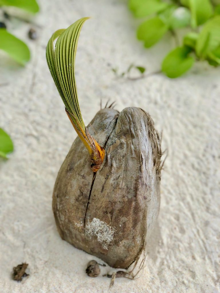 A coconut on the beach, Fregate Island. Photo by Mihaela Limberea.