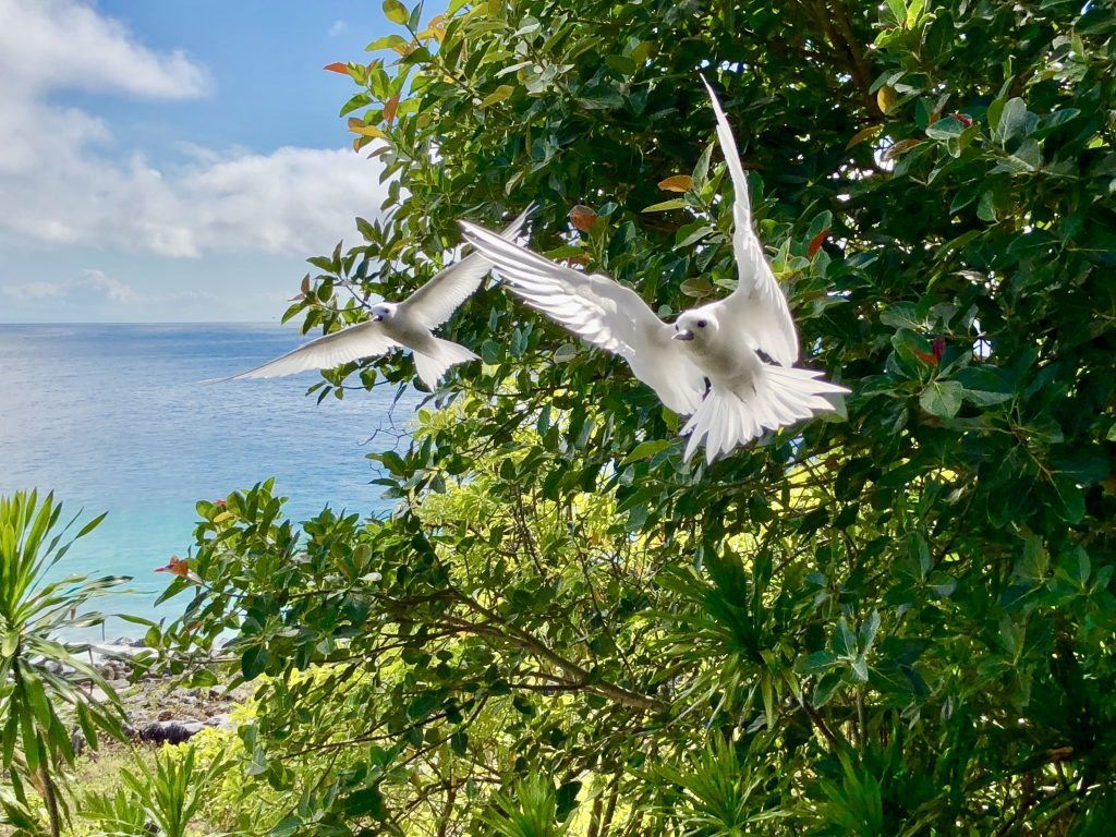 Fairy terns in flight, Fregate Island. Photo by Mihaela Limberea.