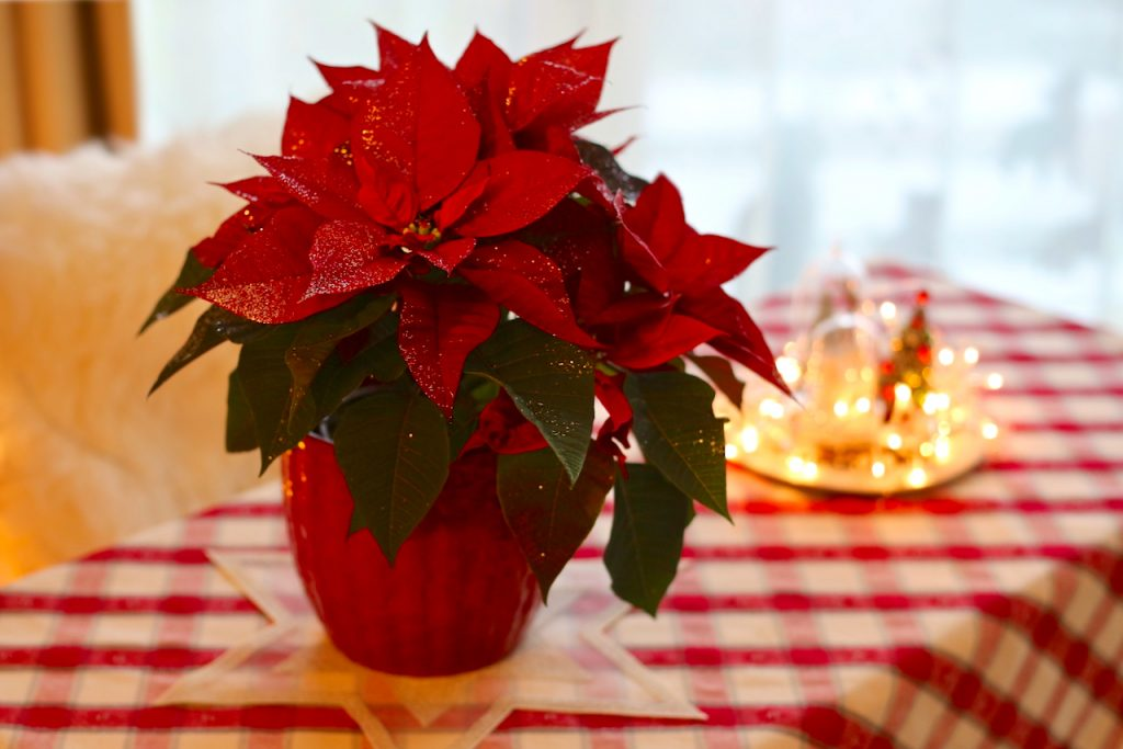 A red poinsettia in a red pot. Photo by Mihaela Limberea.