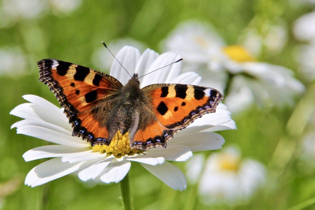Close up of a Small Tortoiseshell Butterfly on a daisy. Photo by Mihaela Limberea.