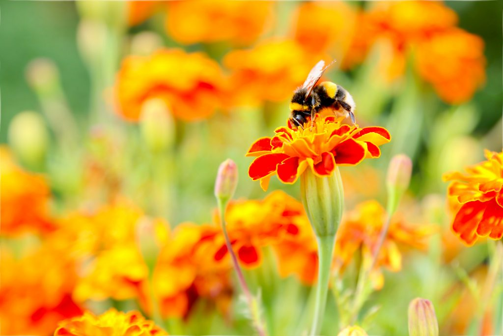 Bumblebee on marigold. Photo by Mihaela Limberea.