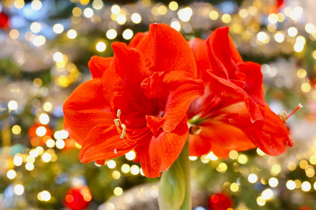 Close up of red amaryllis flowers with a decorated Christmas tree and fairy lights in the background. Photo by Mihaela Limberea