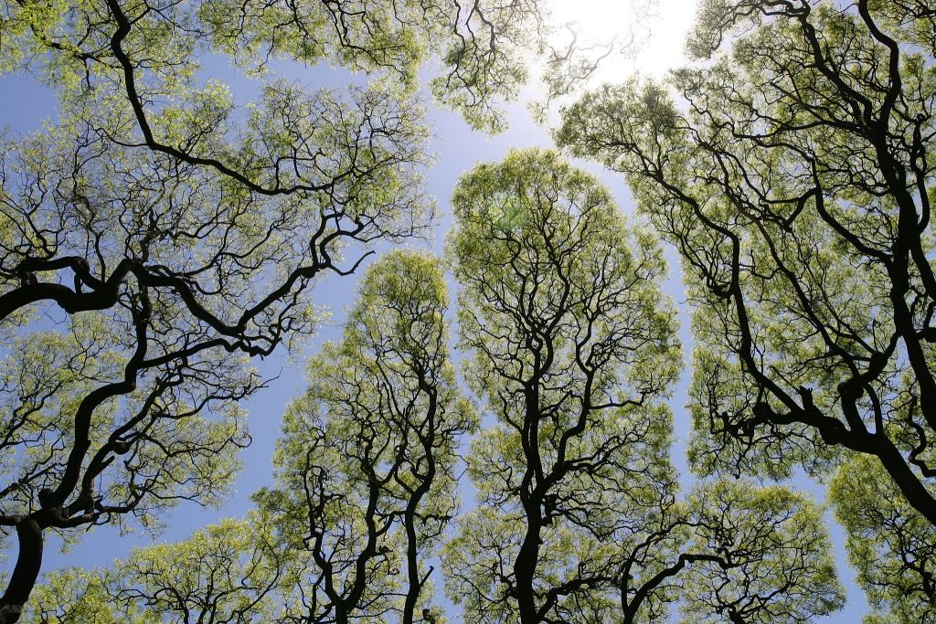 Tree crowns showing the crown shyness phenomenon. Photo by Dag Peak.