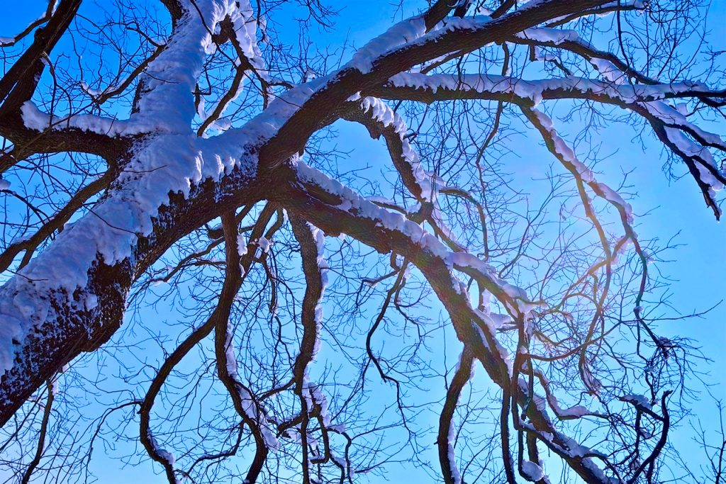 Tree branches covered in snow. Photo by Mihaela Limberea