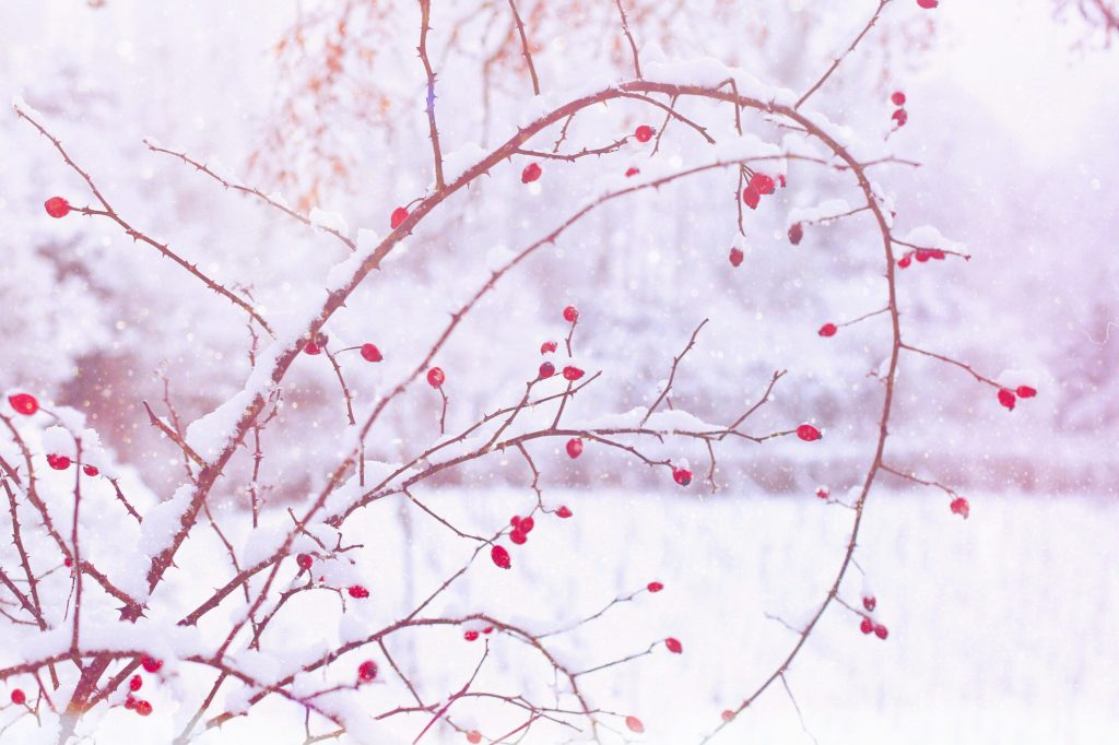 Rose hips covered in snow. Photo by Mihaela Limberea