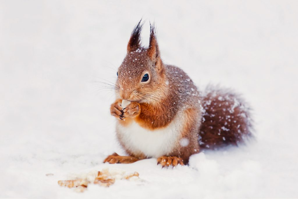 A red squirrel eating a peanut in the snow. Photo by Mihaela Limberea