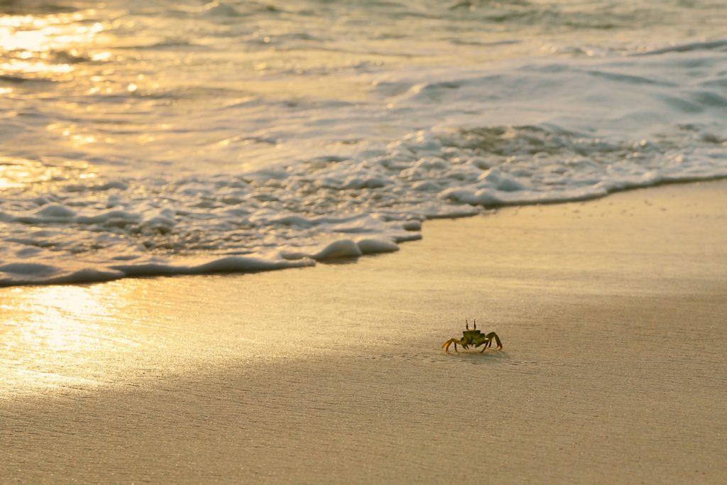 A horned ghost crab on the beach at sunrise, Fregate Island, Seychelles. Photo by Mihaela Limberea