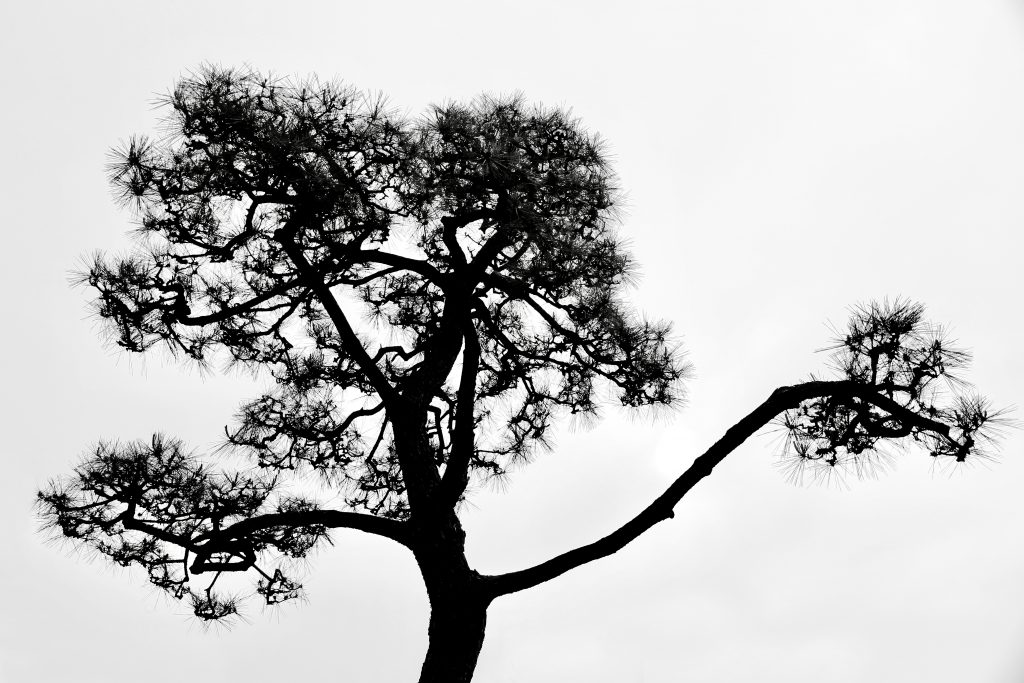 A pine tree, black and white photo by Mihaela Limberea.