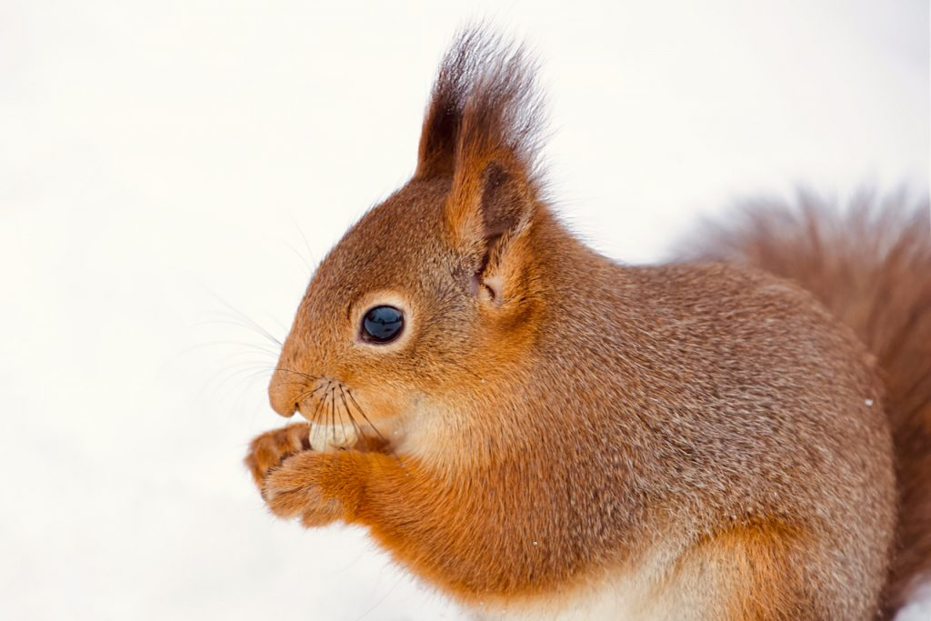 Close up of a red squirrel eating a peanut. Photo by Mihaela Limberea