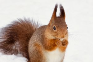 Red squirrel eating a peanut in the snow