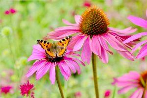 Small tortoiseshell butterfly on pink echinacea. Photo by Mihaela Limberea