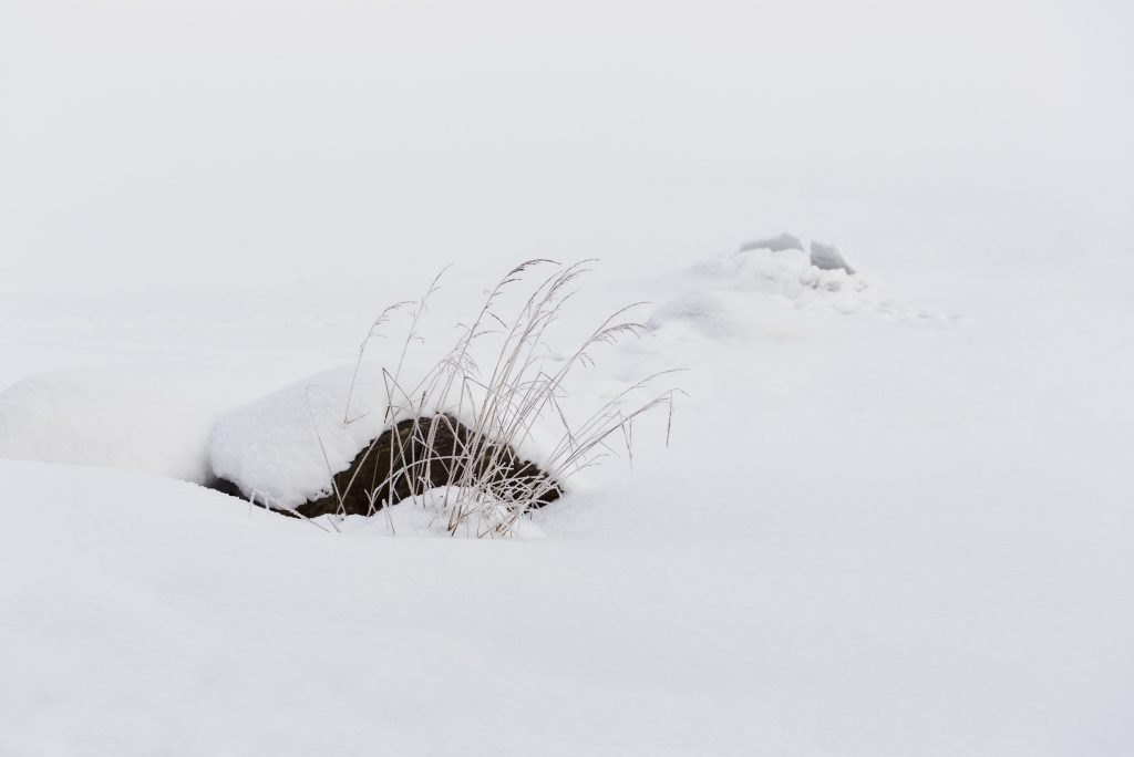 Withered grass in the snow. Photo by Mihaela Limberea