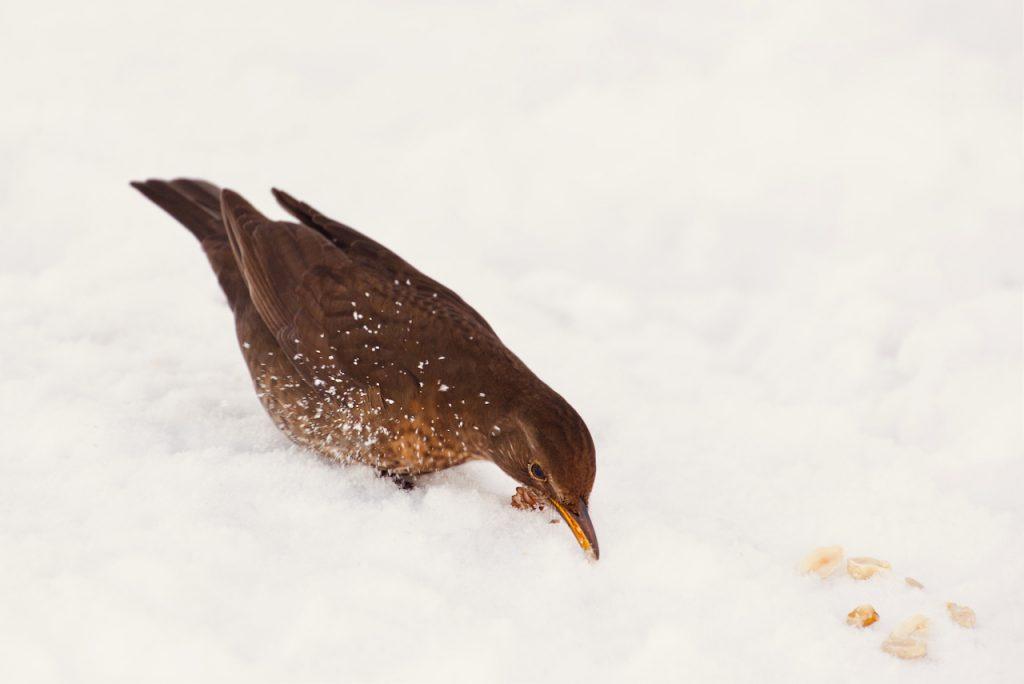 A blackbird in the snow. Photo by Mihaela Limberea