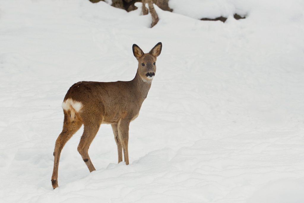 A doe in the snow. Photo by Mihaela Limberea