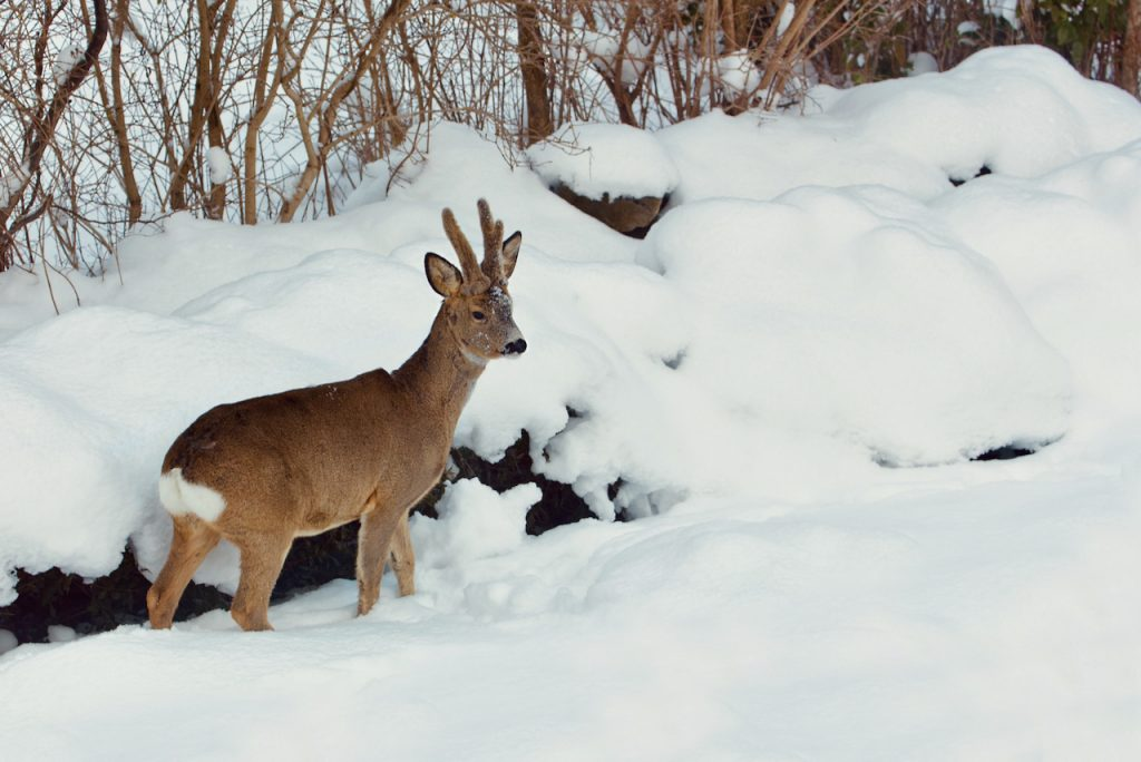 A deer in the snow. Photo by Mihaela Limberea