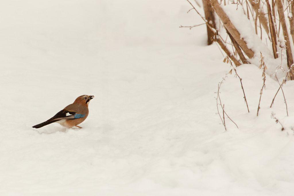 Eurasian jay in the snow. Photo by Mihaela Limberea