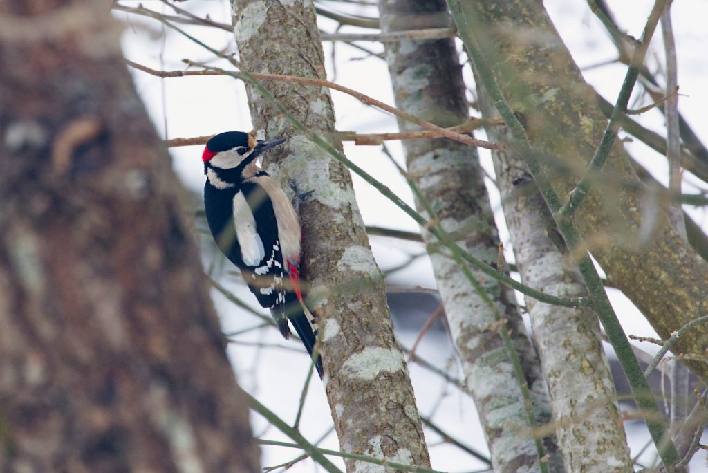 A Great Spotted Woodpecker Male. Photo by Mihaela Limberea
