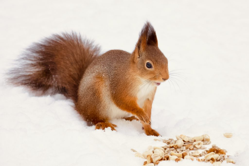 Red squirrel with nuts in the snow. Photo by Mihaela Limberea