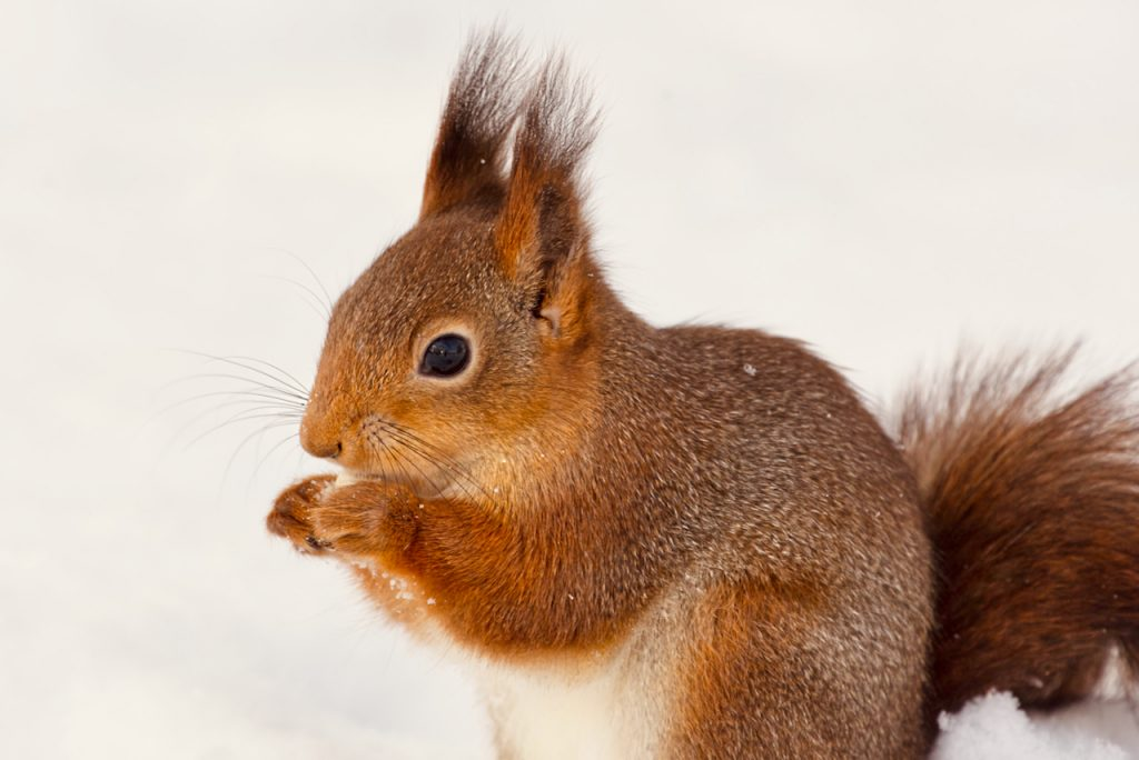 Red squirrel eating a peanut in the snow. Photo by Mihaela Limberea