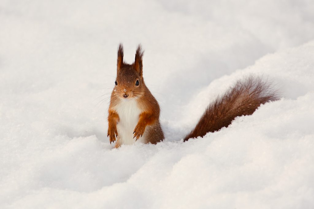 A red squirrel in the snow. Photo by Mihaela Limberea