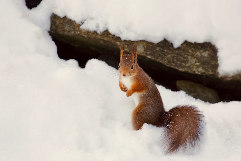 Red squirrel standing in the snow. Photo by Mihaela Limberea