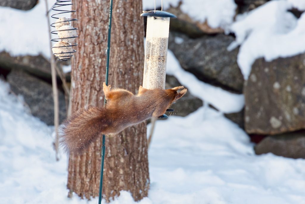 Red squirrel on a bird feeder. Photo by Mihaela Limberea