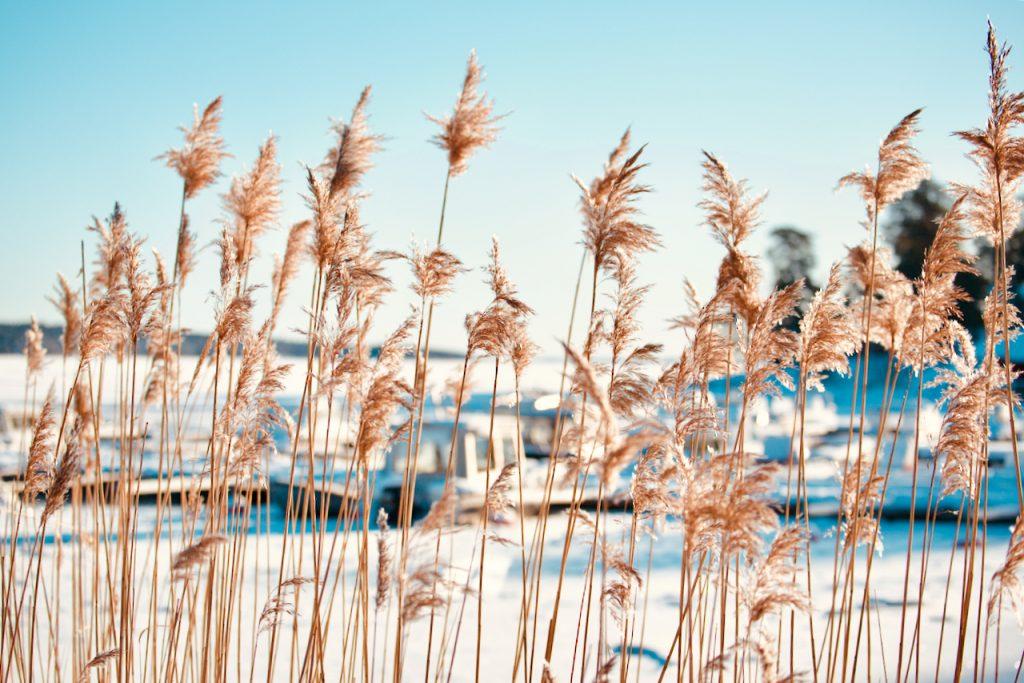 Reeds. Photo by Mihaela Limberea