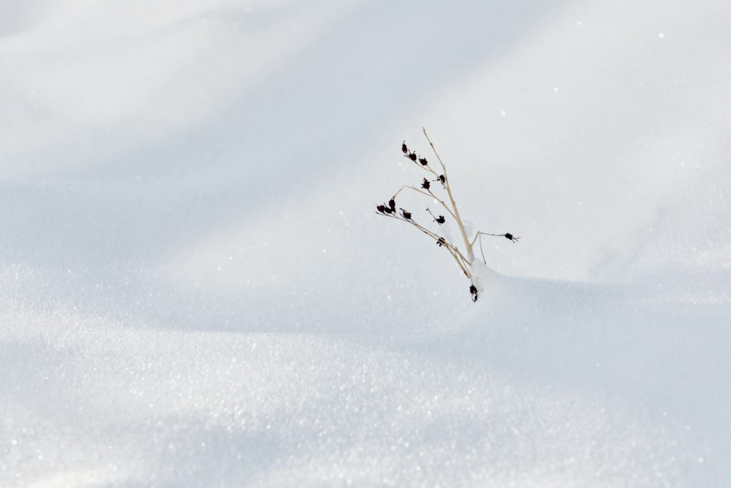 A lone small dead plant in an expanse of snow. Photo by Mihaela Limberea