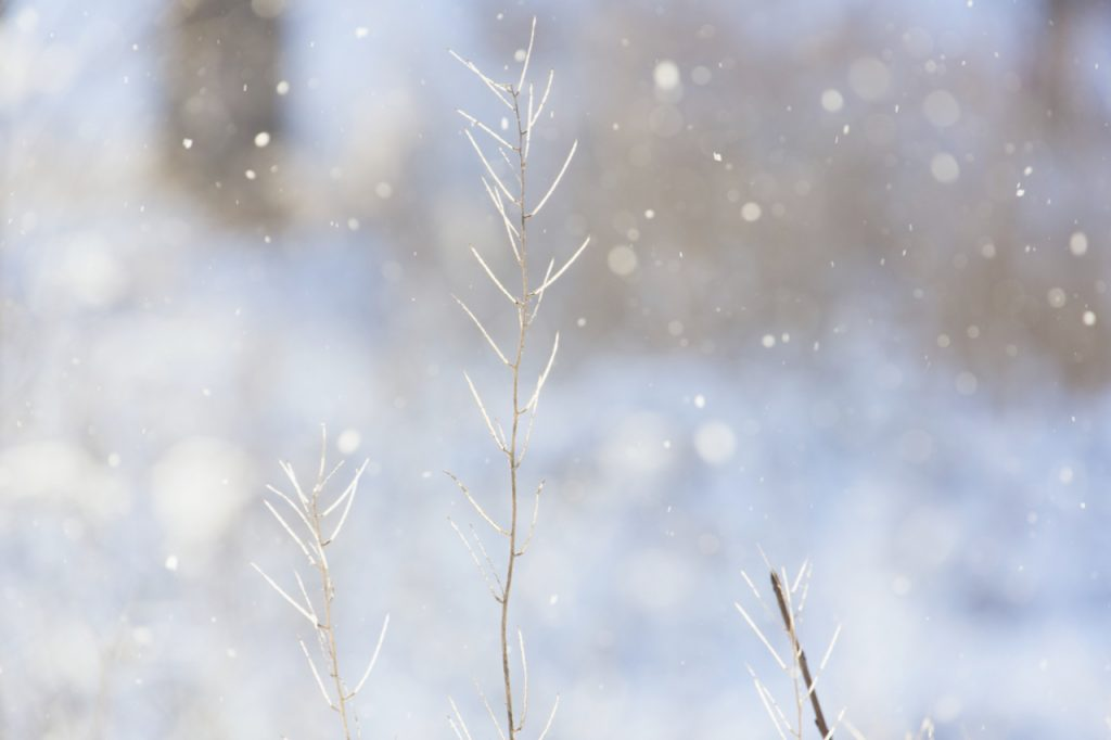 Close up of plants against a snowy background. Photo by Mihaela LImberea
