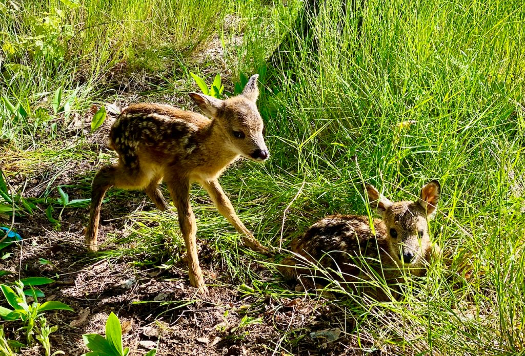 Two fawns in the grass. Photo by Mihaela Limberea