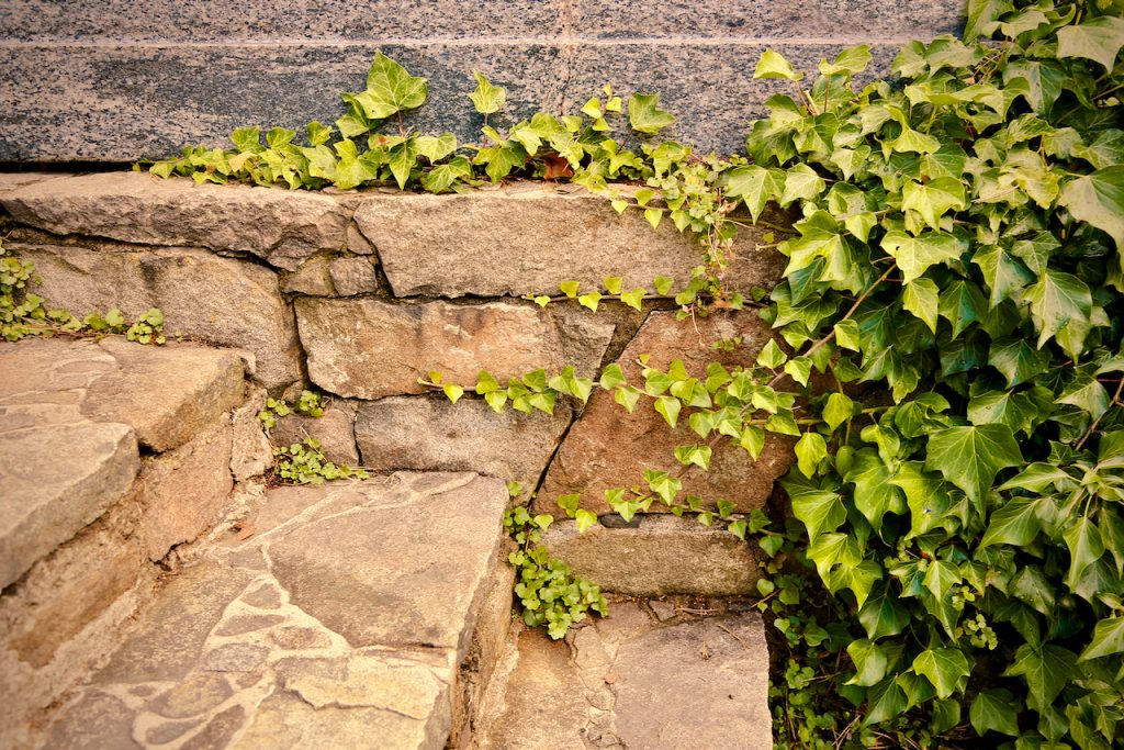 Ivy and stone stairs at Millesgården, Stockholm (Sweden). Photo by Mihaela Limberea
