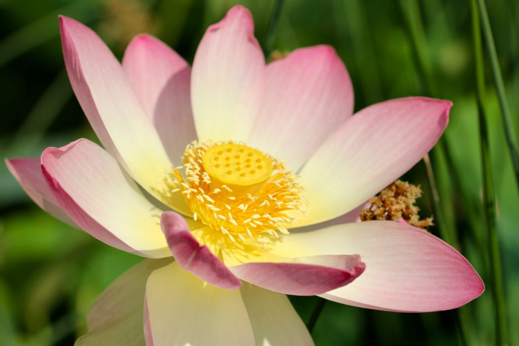 Close up of a lotus flower to illustrate compassion. Photo by Mihaela Limberea.