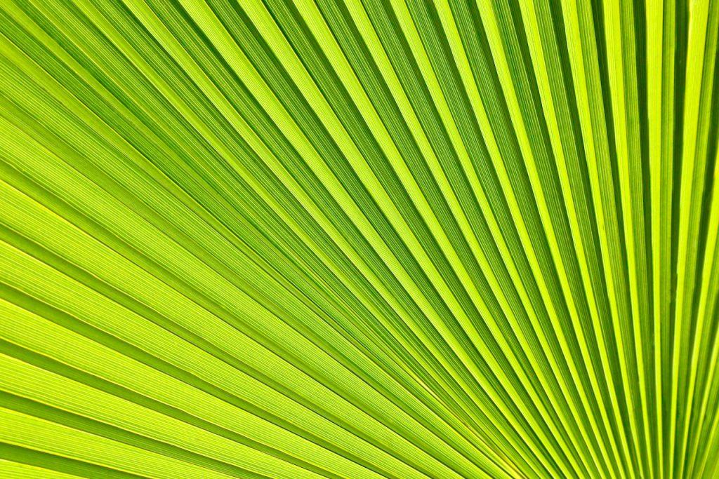 Close up of a palm leaf. Photo by Mihaela Limberea