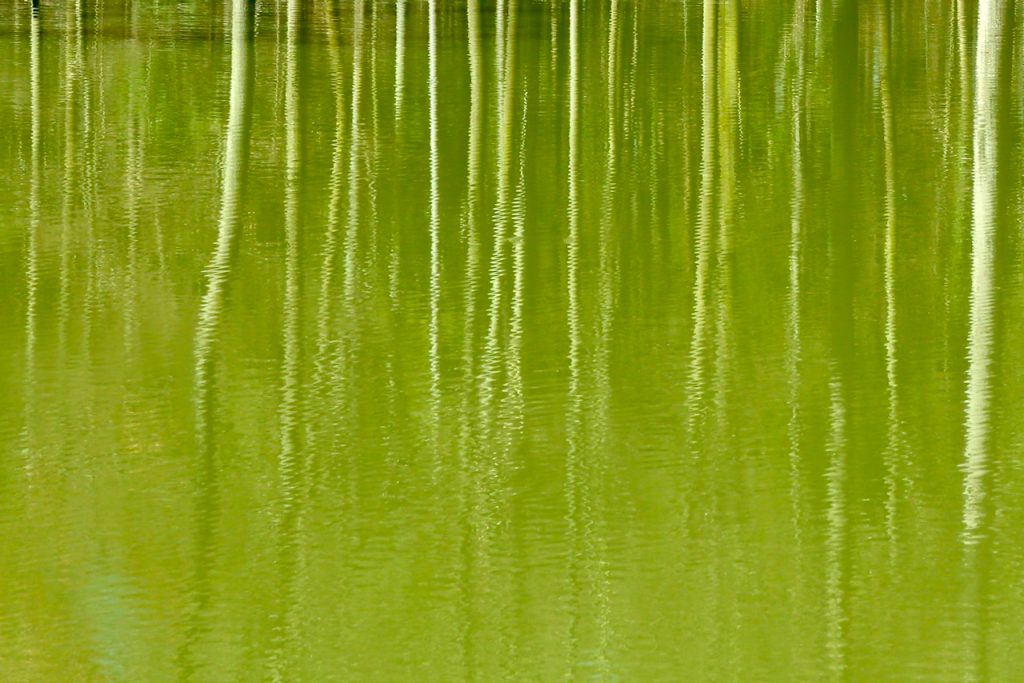 Reflections on young birch trees in a green lake in spring. Photo by Mihaela Limberea.