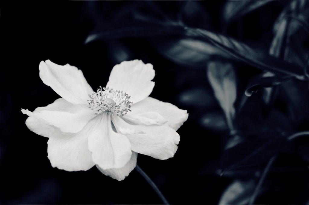 Close up of a Japanese anemone. Black and white photograph by Mihaela Limberea.