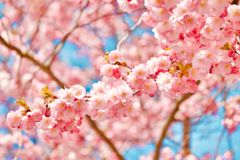 Close up of a flowering cherry tree branch. Photo by Mihaela Limberea