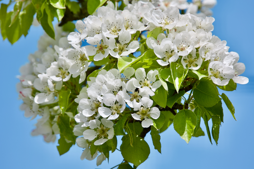 Close up of apple tree flowers. Photo by Mihaela Limberea