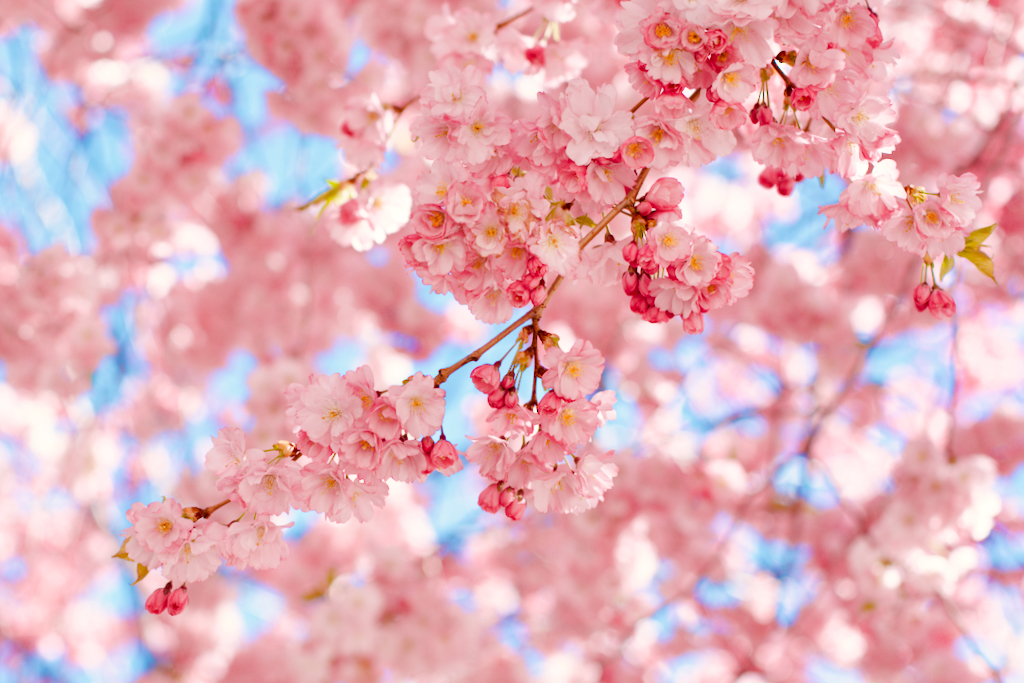 Close up of cherry tree flowers at Kungsträdgården, Stockholm, Sweden. Photo by Mihaela Limberea
