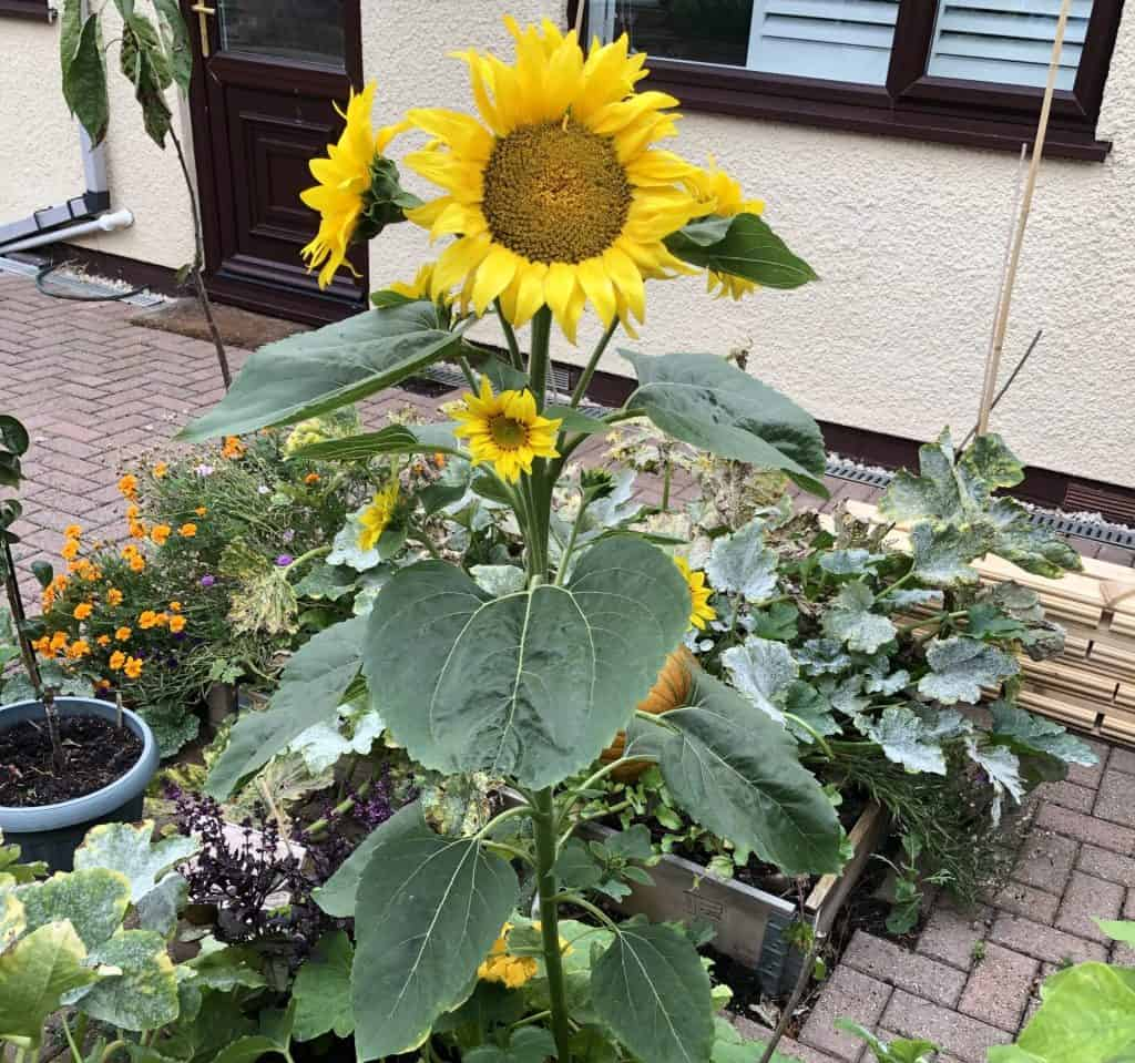 Sunflower in raised bed
