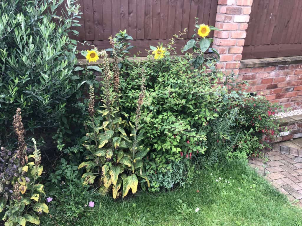 Sunflowers in hedgerow