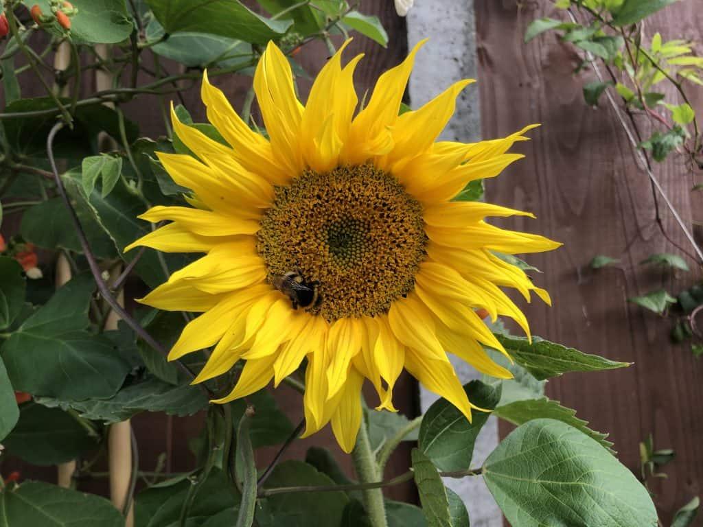 A bee visits a sunflower