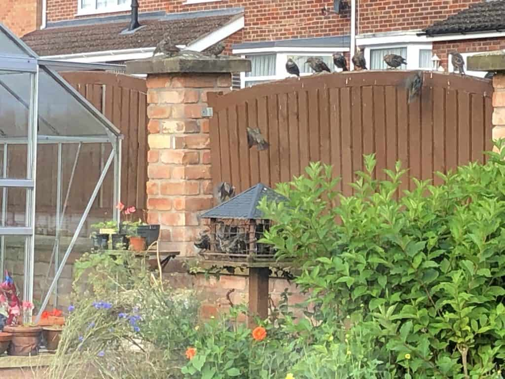 Starling on the bird table