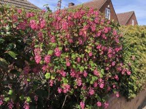 Flowering currant in flower