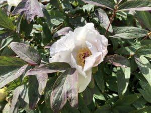 Flower on tree peony
