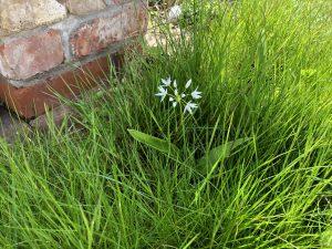 Wild garlic - ransoms