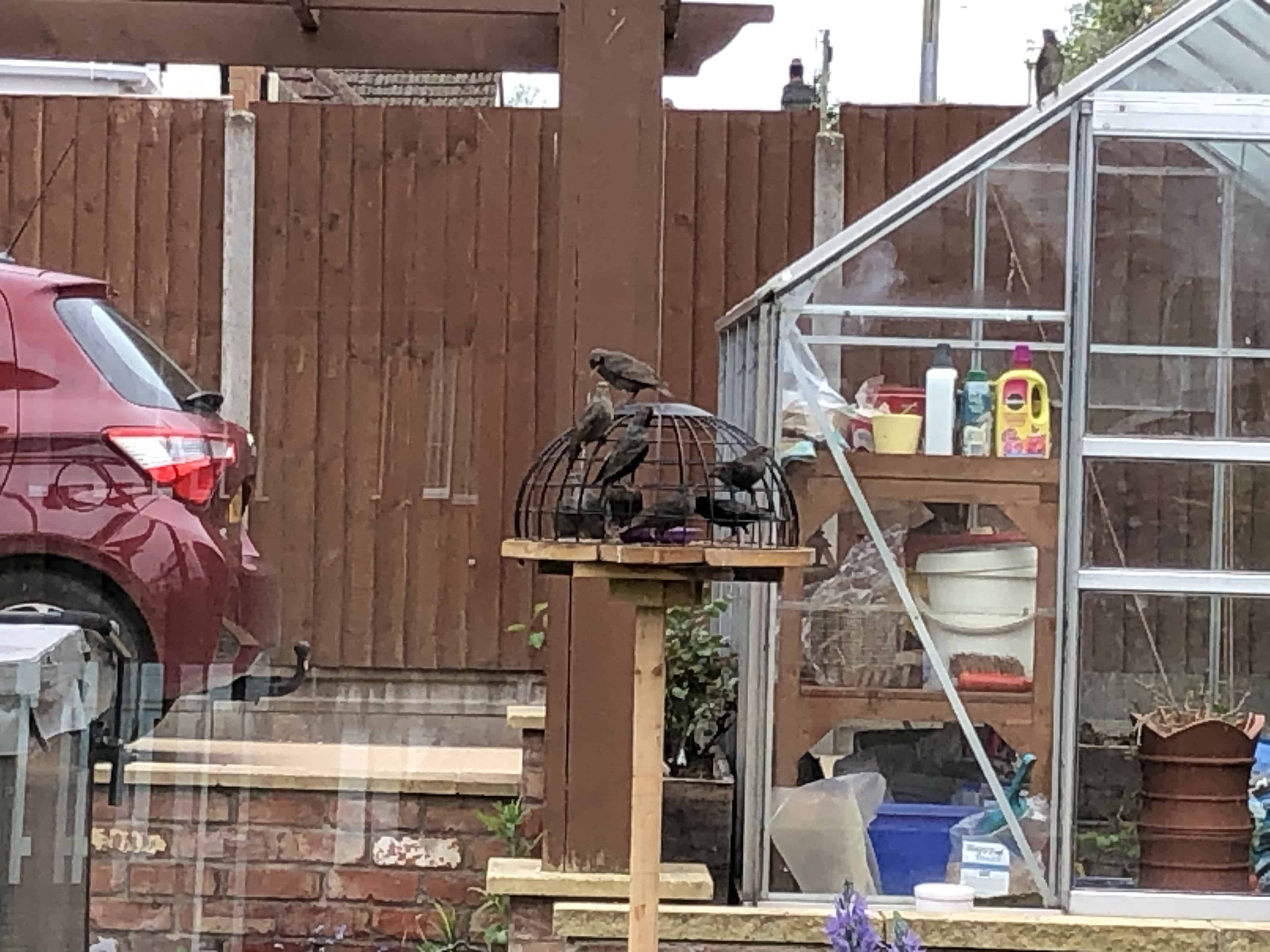 Starlings in the new cage feeder