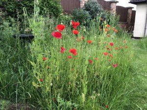 Field poppies in our wild-flower corner