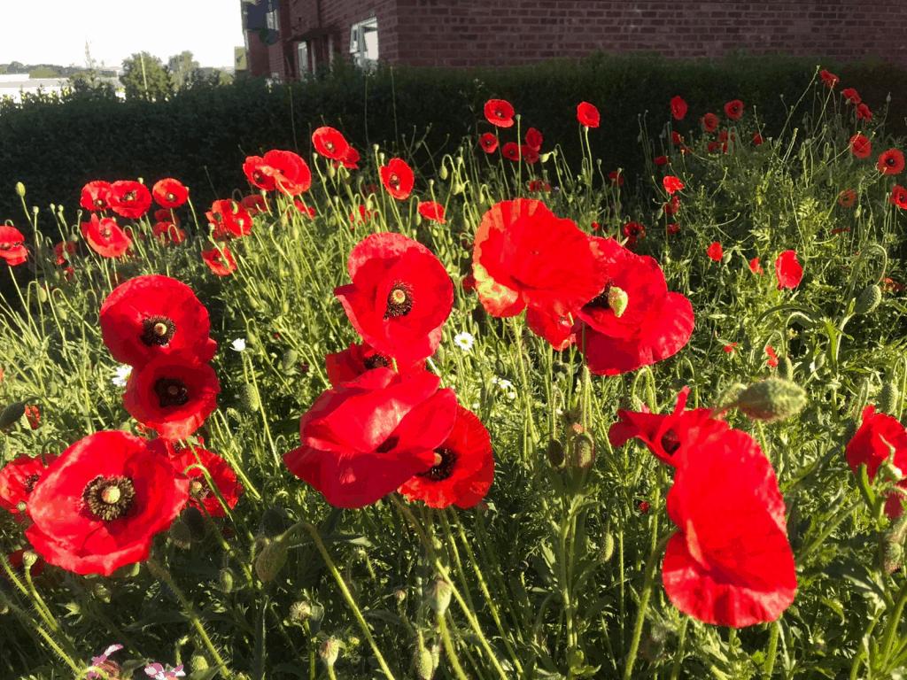 Poppies in the Garden of Hope