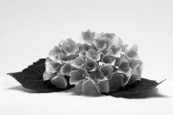 Hortensia i sort/hvitt