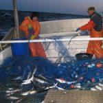 Makrillfiske - god fångst